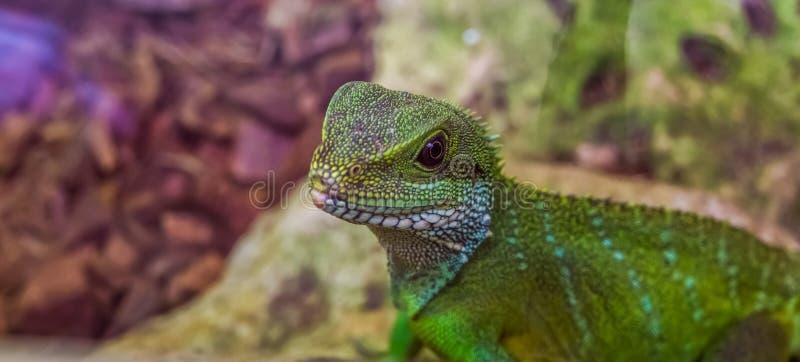 与它的面孔的中国水龙蜥蜴在特写镜头,从亚洲的热带爬行动物 库存图片