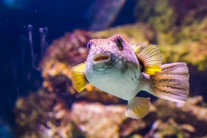与它的面孔的滑稽的白色被察觉的吹风者在特写镜头、热带鱼从红海和因藤和平的海洋 图库摄影
