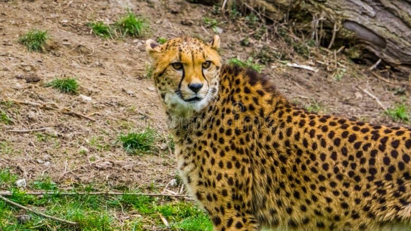与它的面孔的猎豹和在特写镜头,一个普遍的动物园动物的画象,从非洲的脆弱的动物硬币的上身 图库摄影