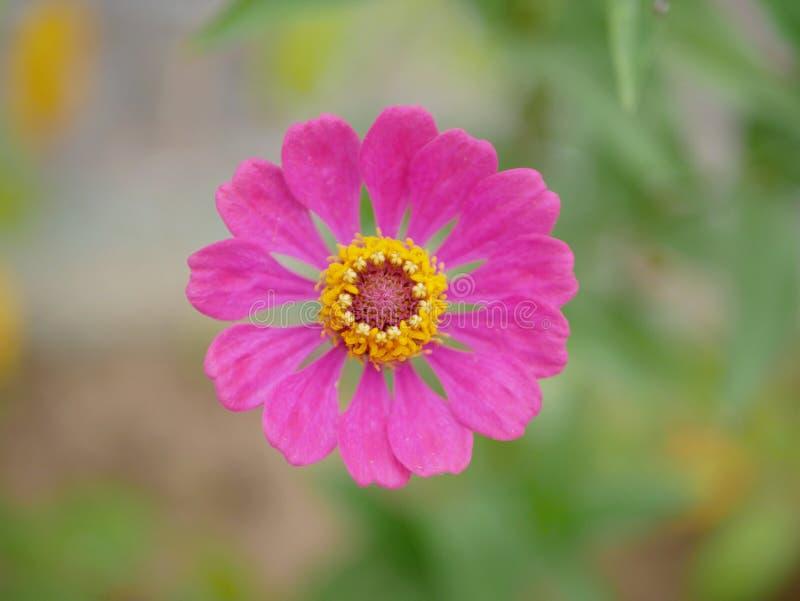 与它的黄色花粉的唯一美丽的开花的桃红色花在模糊的背景 免版税库存照片