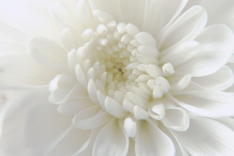 与宏观透镜的白色菊花花 库存照片