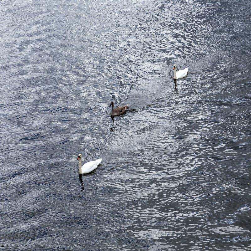 与家庭游泳的天鹅 免版税库存图片