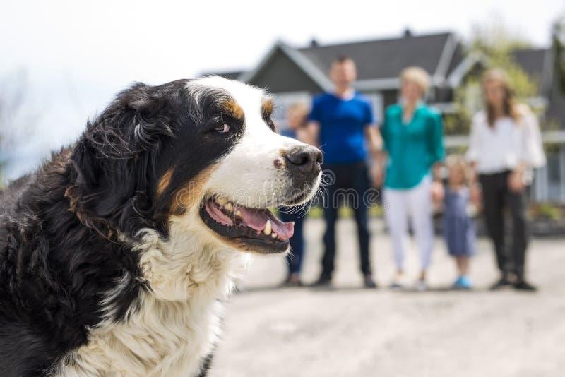 与家庭迷离的一只伯尔尼的山狗在后面 库存照片