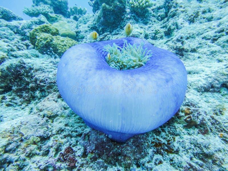 与小丑鱼的银莲花属在帕劳的珊瑚礁 免版税库存照片