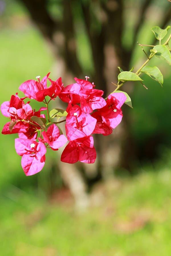 与小刺的美丽的桃红色bourganvilia 库存照片