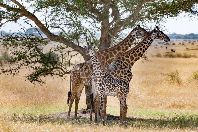 与小小牛的长颈鹿在树荫下在金合欢树,塞伦盖蒂,坦桑尼亚,非洲下 免版税库存图片