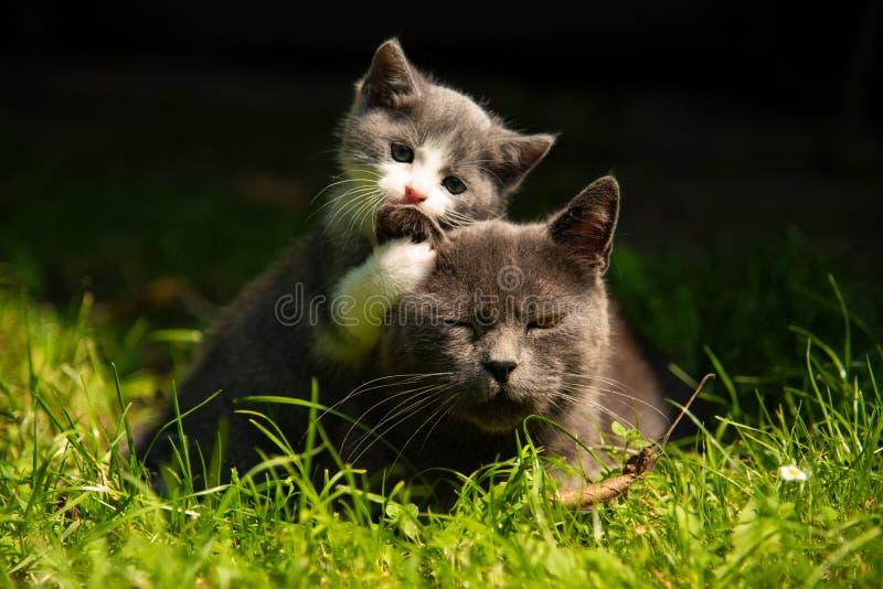 与小小猫的猫在草 免版税库存图片
