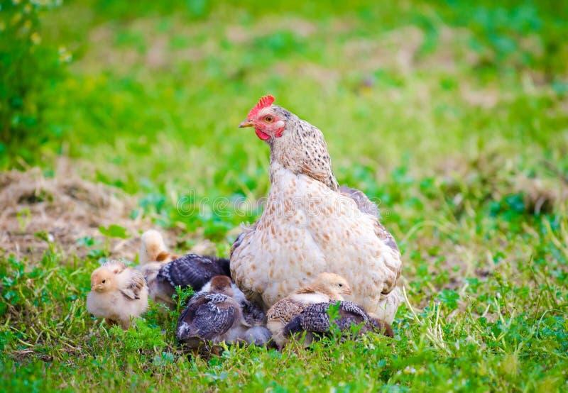 与小小鸡的母鸡 免版税库存照片