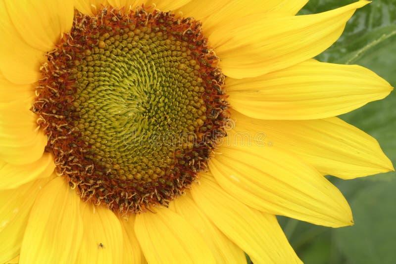 与小昆虫的金黄向日葵 免版税库存照片