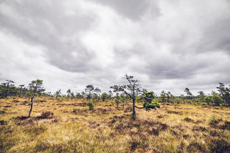与小松树的原野风景 免版税库存照片