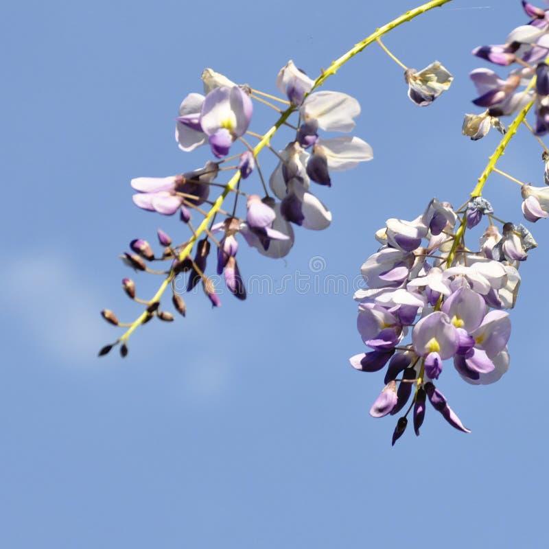 与小洋槐刺槐属Viscosa或刺槐属hispida花的春天分支 与雨下落接近的u的开花的桃红色金合欢束 免版税库存图片