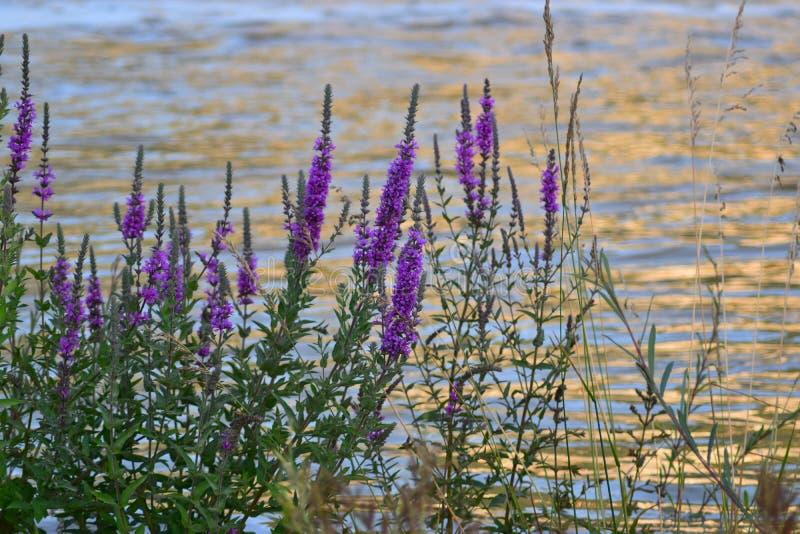 与小淡紫色花的灌木在河岸 库存照片