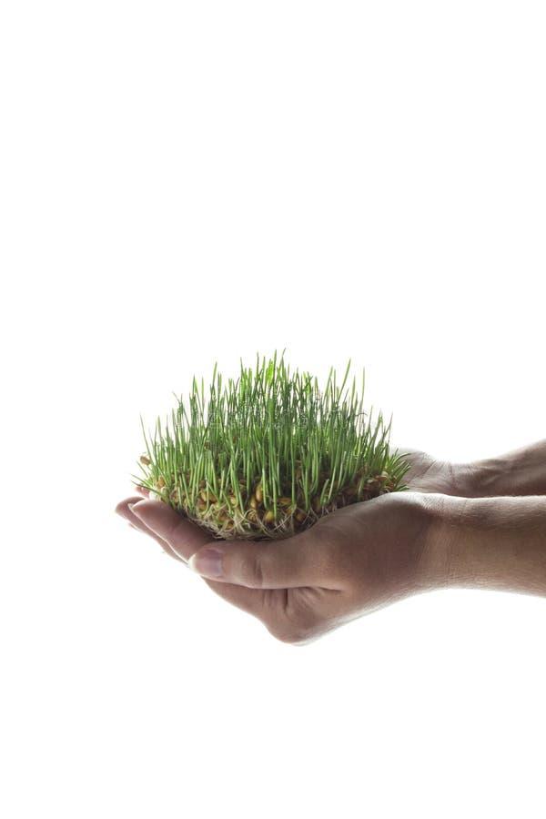 与小滴的年轻发芽麦子五谷在白色背景在手中上升了,隔绝 库存照片
