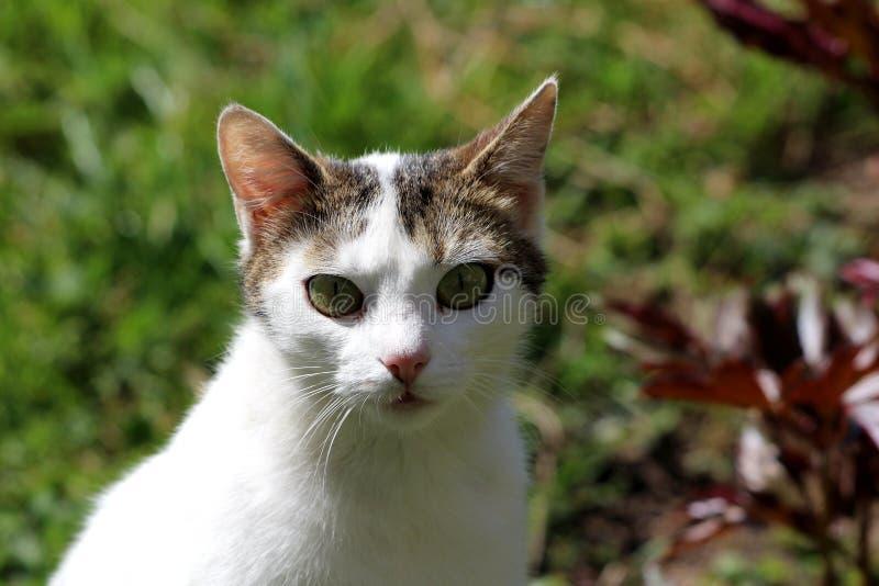 与小灰色补丁的好奇家养的白色猫在看直接地照相机的头和嫉妒顶部摆在为图片 库存照片