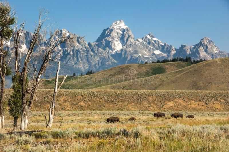 与小牛步行的北美野牛通过草原 大提顿峰国民 库存照片