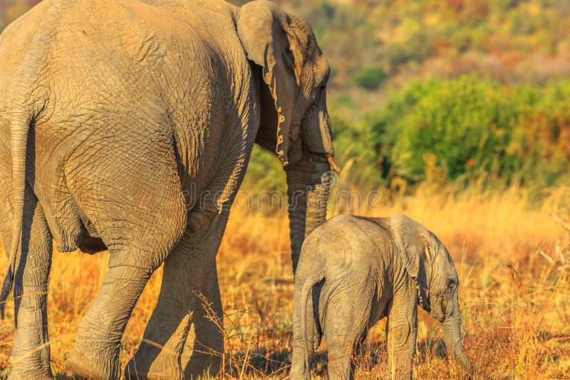 与小牛的大象 免版税图库摄影