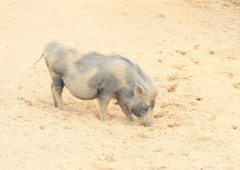 与小牛的猪 库存图片