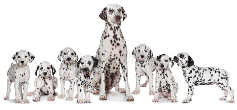 与小狗的成人达尔马希亚狗 免版税图库摄影