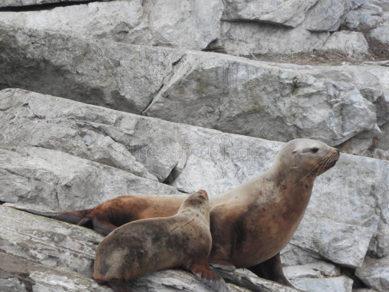 与小狗的海狮在边 库存图片