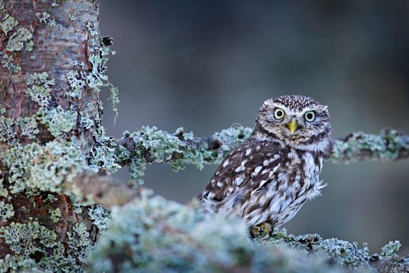 雅典娜小猫头鹰的冬天场面,在白色落叶松属森林里在中欧 小鸟画象在图片