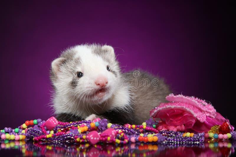 与小珠的白鼬小狗 库存照片
