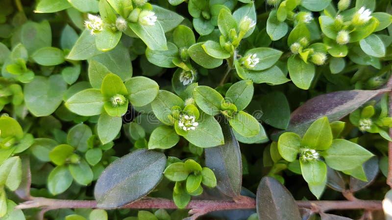 与小白花的新鲜的绿色植物叶子 库存图片
