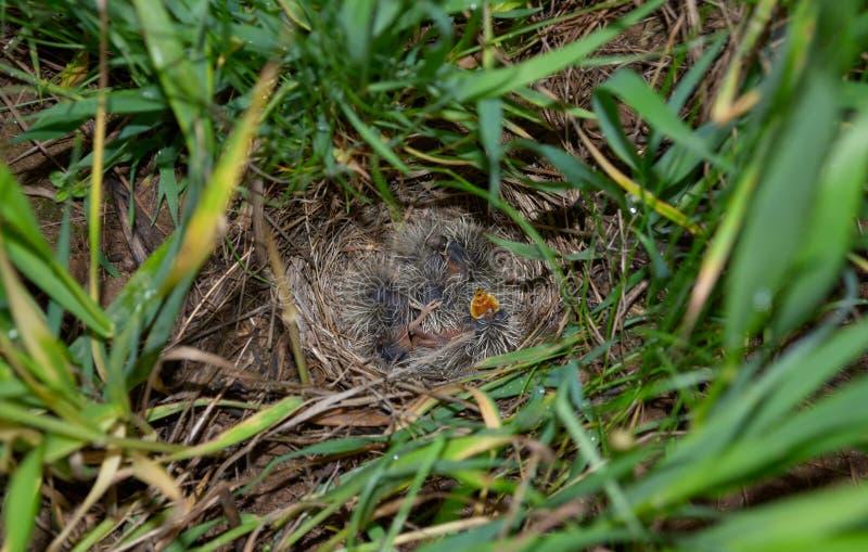 与小的小鸟的百灵巢 库存图片