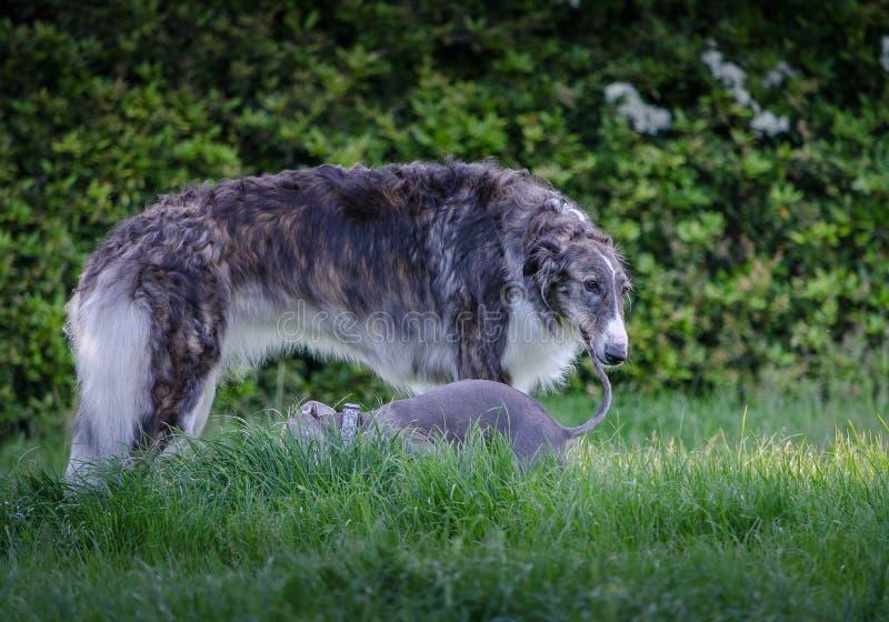 与小的意大利灵狮的灰色和白色俄国猎狼犬II 库存照片
