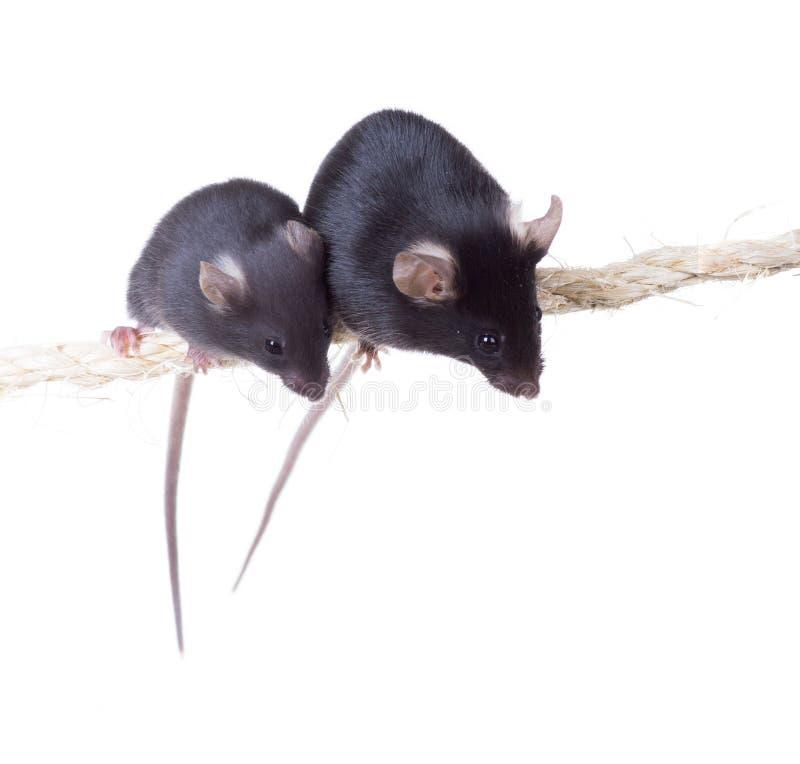 与小的老鼠的黑实验室老鼠在绳索 图库摄影