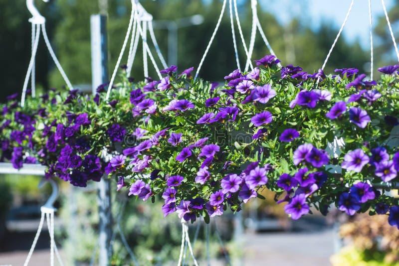 与小紫色花的露台杂种喇叭花在一个暂停的罐 库存图片