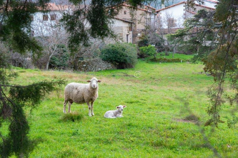 与小羊羔的母亲绵羊在一个领域在春天 免版税图库摄影