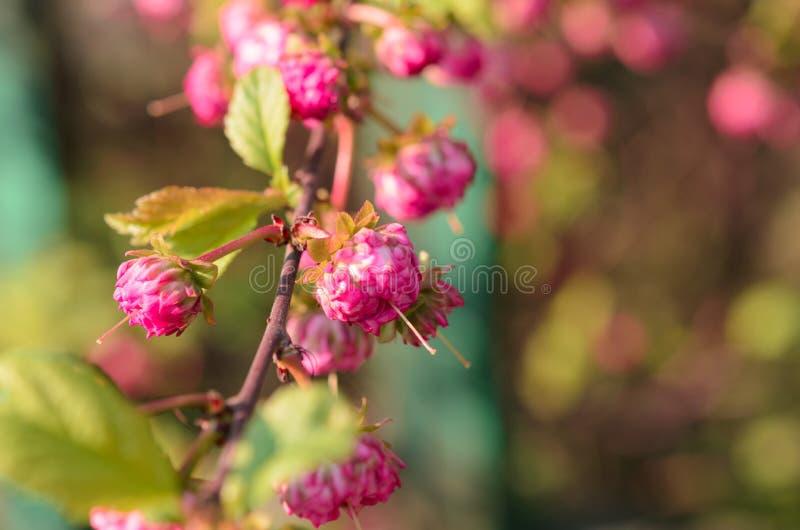 与小花桃红色玫瑰的分支在灌木特写镜头 库存照片