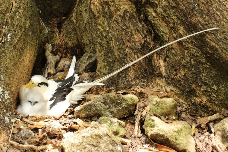 与小鸡的一只筑巢白被盯梢的回归线鸟 免版税库存图片