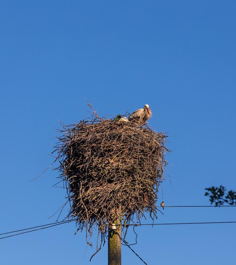 与小鸡的一只骄傲的鹳在巢在加里宁格勒地区,俄罗斯坐 免版税库存图片