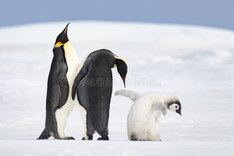 与小鸡的两只皇企鹅 库存图片