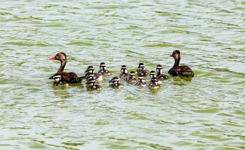 与小鸡的哥斯达黎加鸭子,游泳在湖在sumer期间 库存照片