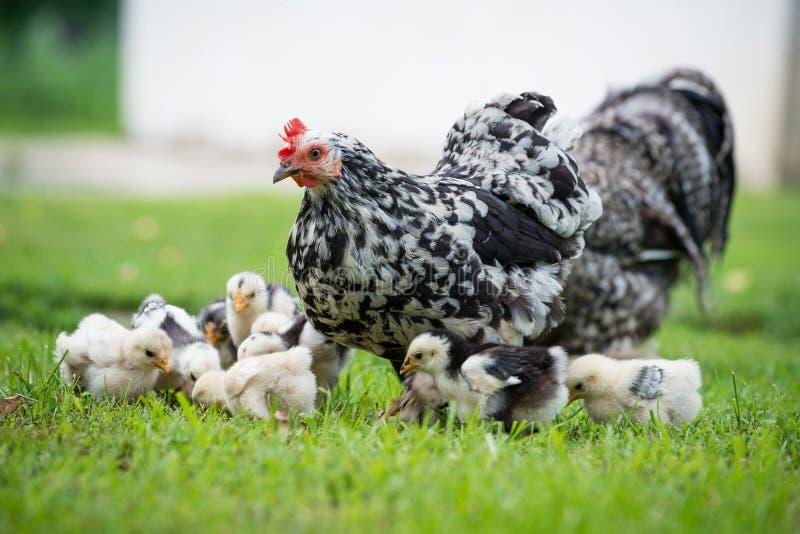 与小鸡的母鸡 免版税库存图片