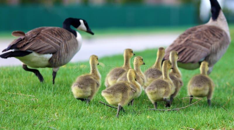 与小鸡,用幼鹅走在绿草的鹅的加拿大鹅在密执安在春天期间 免版税库存图片