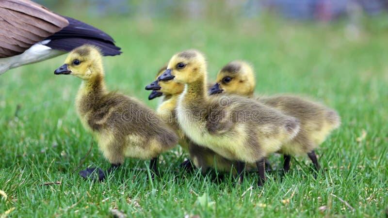 与小鸡,用幼鹅走在绿草的鹅的加拿大鹅在密执安在春天期间 库存图片