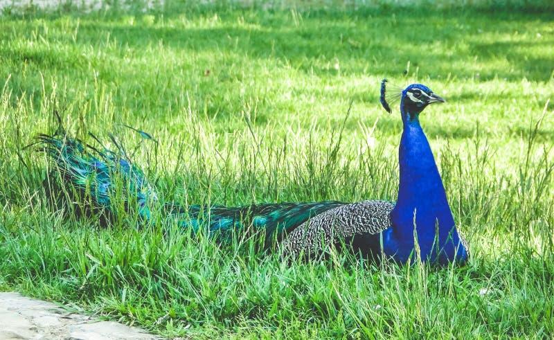 与尾巴的唯一公孔雀坐绿草 库存照片