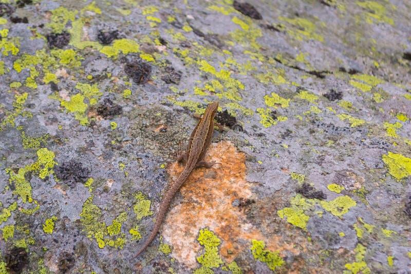 与尾巴的蜥蜴棕色灰色黄色爬行掩藏在structur 免版税图库摄影