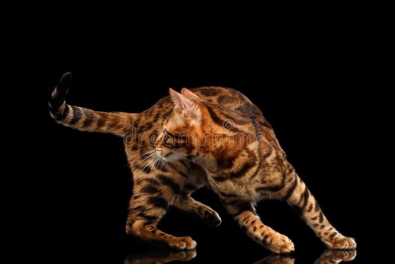 与尾巴,被隔绝的黑背景的嬉戏的孟加拉男性猫戏剧 免版税库存照片