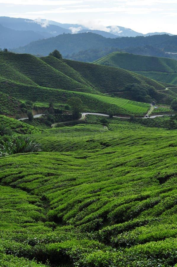 与山的茶领域 图库摄影