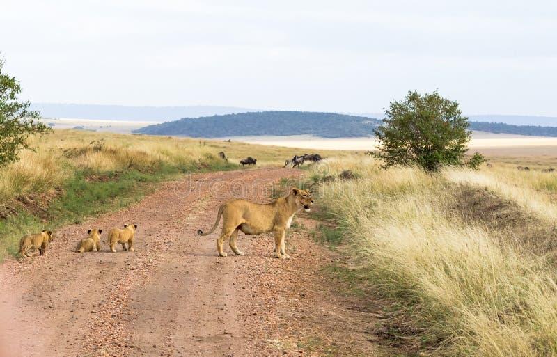 与崽的一只雌狮穿过路 肯尼亚mara马塞语 免版税图库摄影