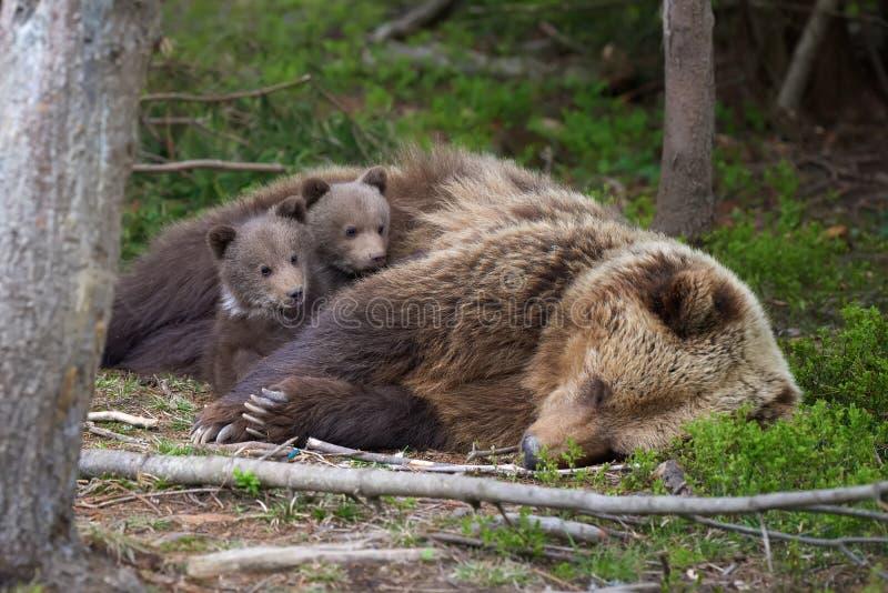 与崽的棕熊在森林里 图库摄影
