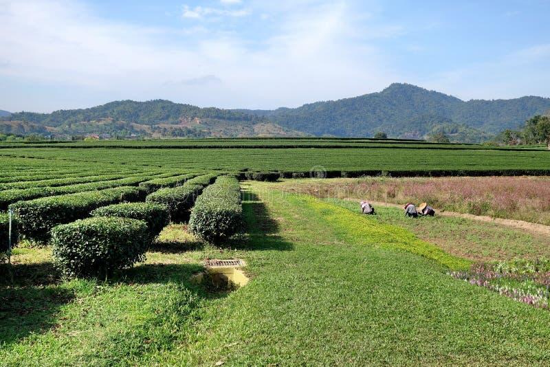 与工作者的美好的新绿茶种植园视图 免版税库存照片