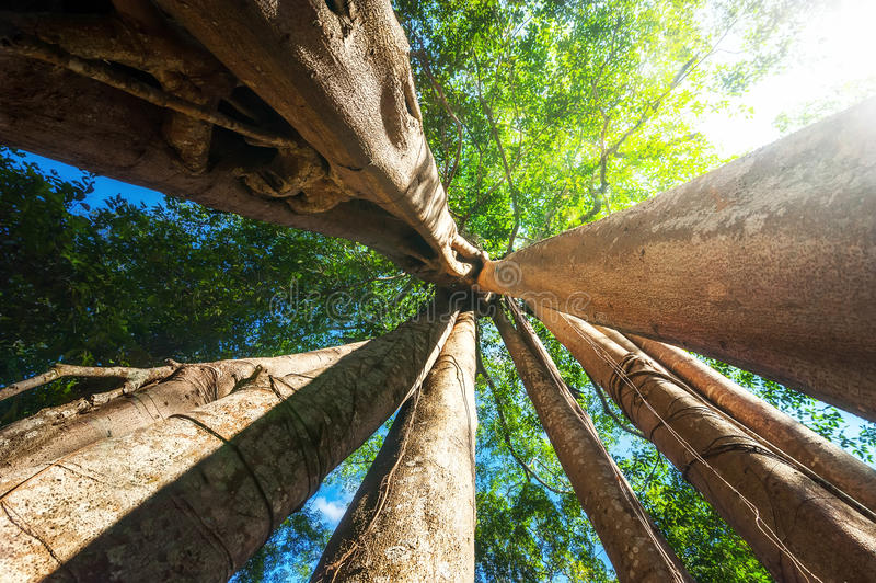 与巨型印度榕树热带树的晴朗的雨林 柬埔寨 免版税库存照片