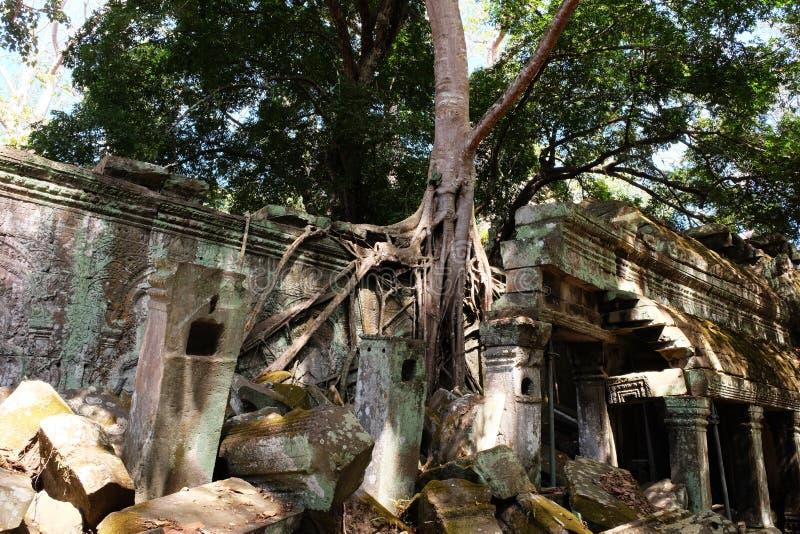 与巨型spung树根的塔布茏寺废墟在吴哥窟,柬埔寨 在古老石块中发芽的榕属 免版税库存照片