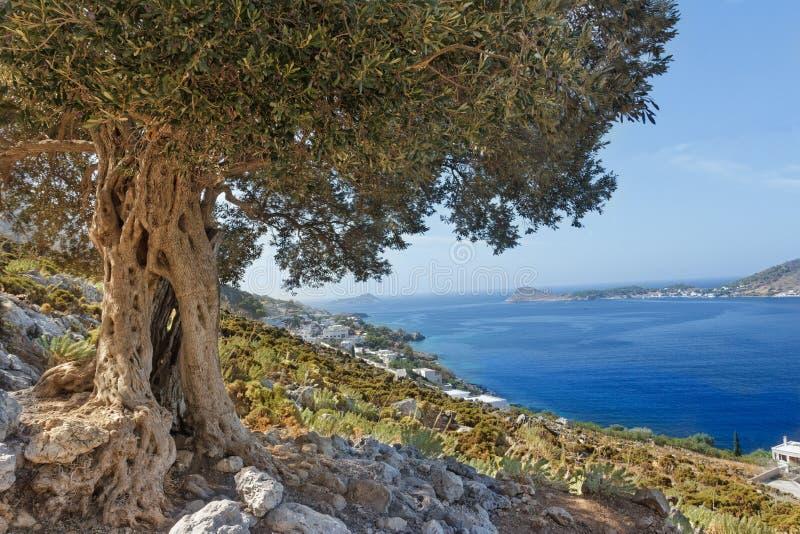 与巨大的古老橄榄树的南欧洲风景和海在希腊人卡林诺斯岛海岛上咆哮 免版税库存图片