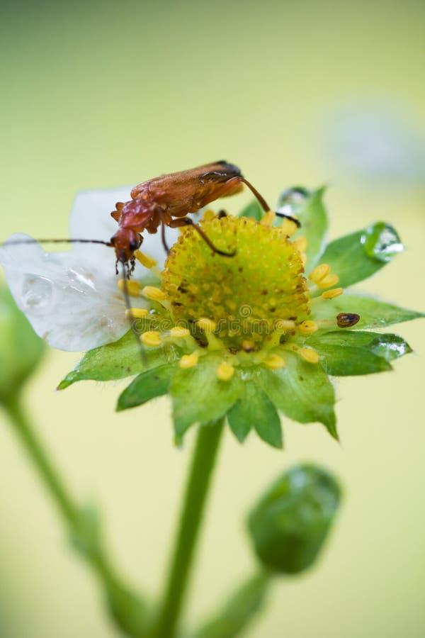 与巨大的天线的美好的逗人喜爱的红色橙色昆虫臭虫探索和吮黄色草莓花的成长 免版税图库摄影
